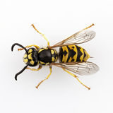 Wasp. Vespula germanica species  on white background Royalty Free Stock Photography