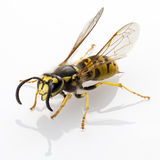 Wasp. Vespula germanica species  on white background Stock Photography