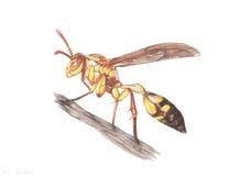 Wasp Arkivfoton