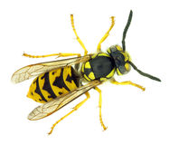 Wasp. European paper wasp (Vespula germanica Stock Photography