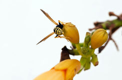The wasp. A wasp alighted on an orange flower stock photography
