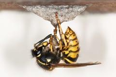 Free Wasp Royalty Free Stock Image - 29605346