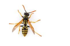 Free Wasp Stock Image - 29978131