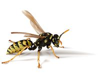 Free Wasp Royalty Free Stock Photo - 3025525