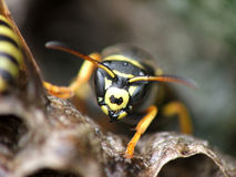 WASP. Macro of wasp Royalty Free Stock Photos