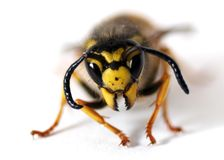 Free Wasp Royalty Free Stock Photo - 3990695