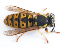 Wasp. Live wasp awaken from winter Royalty Free Stock Photos