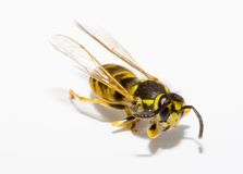 Wasp Royalty Free Stock Photos