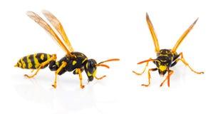 wasp arkivfoto