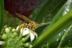 wasp Royaltyfri Fotografi