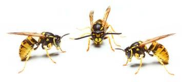 Wasp. Close-up of a live Yellow Jacket Wasp Stock Photo