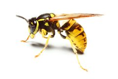 Free Wasp Stock Image - 7821711