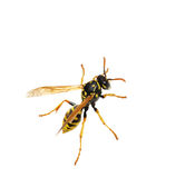 Wasp. Close-up of a wasp isolated over white background Stock Photo