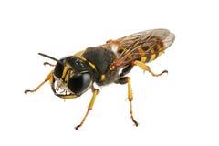 wasp Royaltyfria Bilder