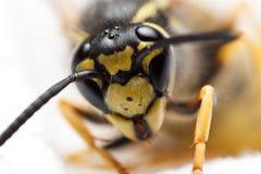 wasp royaltyfri foto