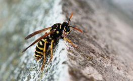 Wasp against natural background Stock Images