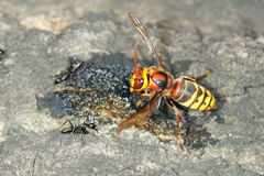 Wasp and ant Royalty Free Stock Photos