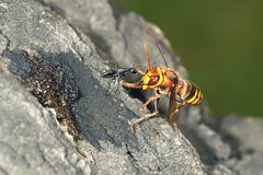 Wasp and ant Royalty Free Stock Photo