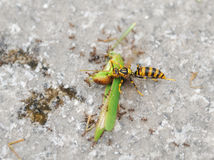 A wasp and ants eating grasshopper Stock Image