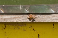 Wasp on apiary in nature.Insect. in nature .intruder stock image