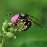 Wasp Apocrita Royalty Free Stock Photography