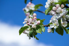 Wasp on the apple flower. In sunny day of spring Royalty Free Stock Photos