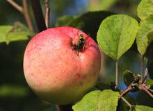 Wasp and apple Royalty Free Stock Photography