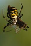 Wasp, Argiope bruennichi Royalty Free Stock Image