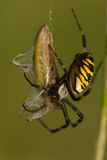 Wasp, Argiope bruennichi Royalty Free Stock Images