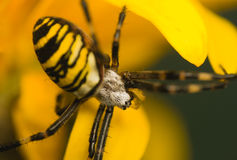 Wasp, Argiope bruennichi Stock Images
