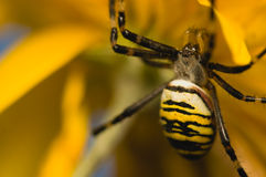 Wasp, Argiope bruennichi Stock Photos