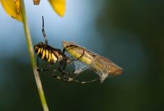 Wasp, Argiope bruennichi Stock Image
