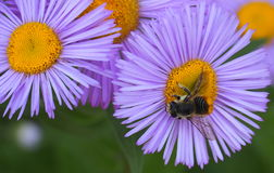 Wasp On Aster Stock Photography