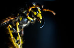 Wasp attack Royalty Free Stock Images