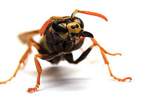 Wasp. Attack single wasp with open mandibles on white background Stock Photos
