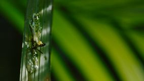 A wasp attacking and eating tadpoles of glass frog, glass frog`s eggs royalty free stock images