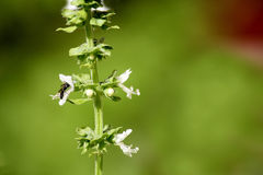 Wasp on basil. Wasp looks for nectar from whte flower of basil Royalty Free Stock Photos
