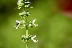 Wasp on basil Royalty Free Stock Photos