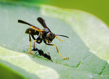 Wasp battles Ant. Black ant attacks a Paper wasp (Poliste fuscatus) on a leaf. ( Ant won battle but wasp returned Royalty Free Stock Photography
