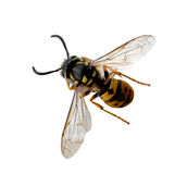 Wasp bee. Alive wasp bee isolated on white background Stock Photography