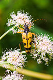 Wasp Beetle Royalty Free Stock Image
