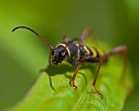 Wasp beetle, Clytus arietis Royalty Free Stock Image