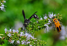 Wasp and beetle on flower Royalty Free Stock Image