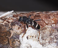 Wasp beetle on log. Royalty Free Stock Photography