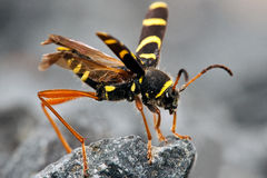 Wasp Beetle sitting on rock Stock Photography