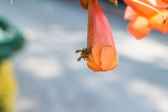 Wasp on a bignonia grandiflora flower. Wasp on a bignonia grandiflora orange flower royalty free stock image