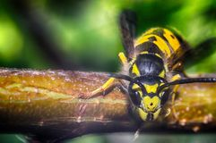 The head of the insect wasp royalty free stock photo