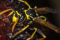 The head of the insect wasp stock photography