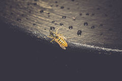 Wasp on Black Surface Royalty Free Stock Photo