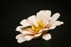 Wasp on the bloom. Little wasp on the pink bloom Royalty Free Stock Photo